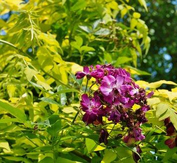 Jasminum officinale 'Fiona Sunrise' 9 flower