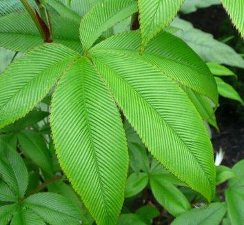 Rubus lineatus 8