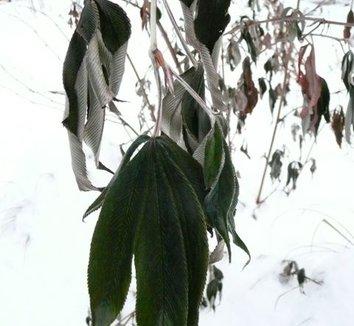 Rubus lineatus 5
