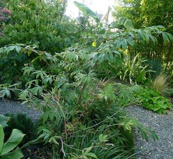 Rubus lineatus 5 form