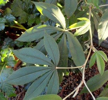 Rubus lineatus 16