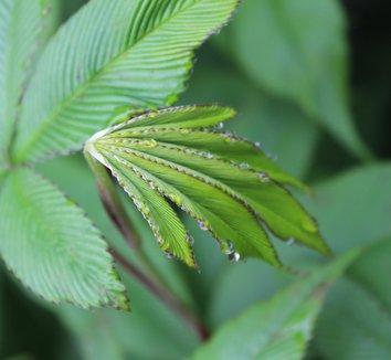 Rubus lineatus 21