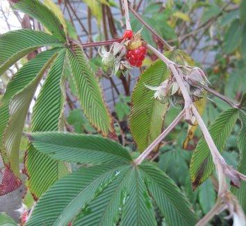 Rubus lineatus 22 fruit