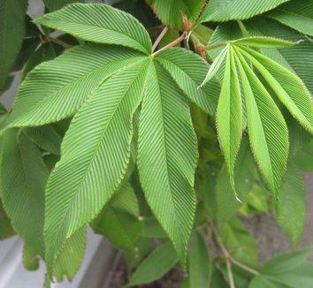 Rubus lineatus 23