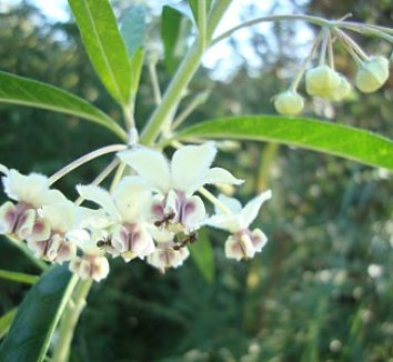 Asclepias physocarpa 15 flower