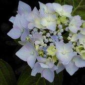 Hydrangea 'Blue Deckle