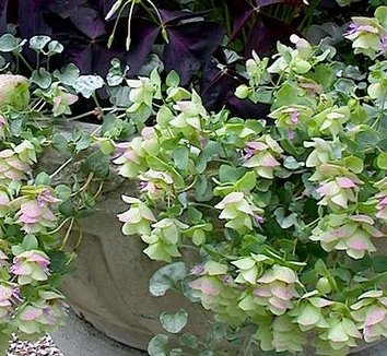 Origanum rotundifolium 'Kent Beauty' 4 flower