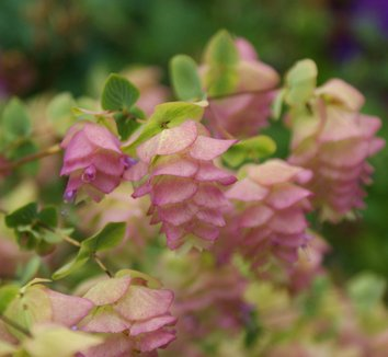 Origanum rotundifolium 'Kent Beauty' 7 flower