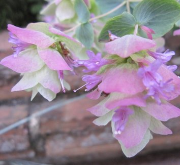 Origanum 'Kent Beauty' 9 flower