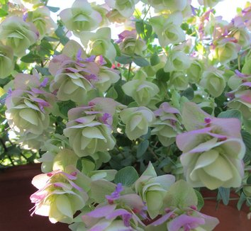 Origanum rotundifolium 'Kent Beauty' 12 flower