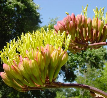 Agave parrasana 5 flower