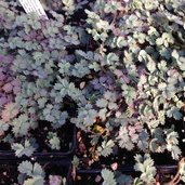 Acaena anserinifolia 'Blue Haze'