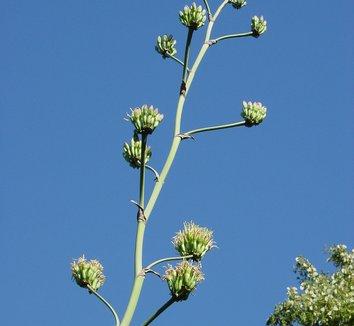 Agave potatorum 8 flower