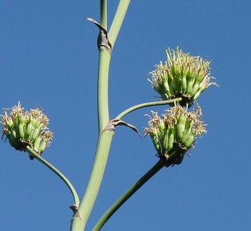 Agave potatorum 10 flower