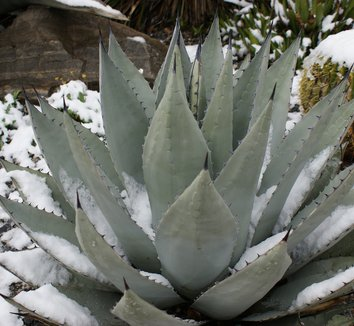Agave havardiana 6 winter