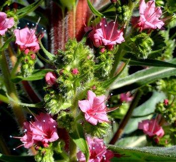 Echium 'Red Rocket' 10 flower