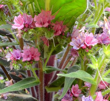 Echium 'Red Rocket' 24 flower