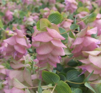 Origanum rotundifolium 'Kent Beauty' 1 flower