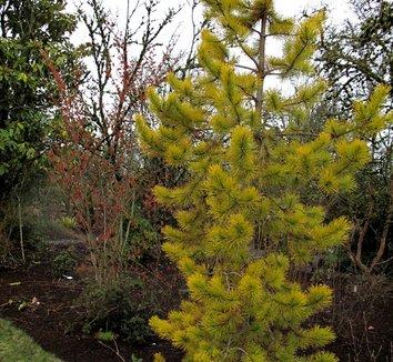 Pinus contorta var. latifolia 'Chief Joseph' 7