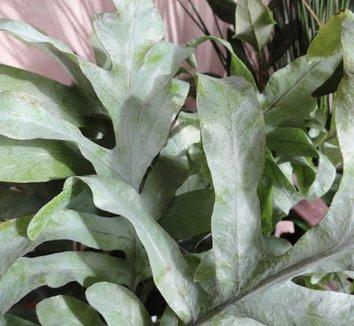 Phlebodium pseudoaureum 10