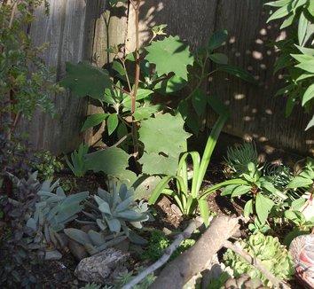 Senecio cristobalensis 5 young plant