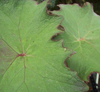 Senecio cristobalensis 8