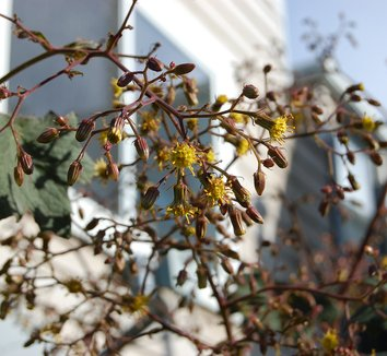 Senecio cristobalensis 10 flower