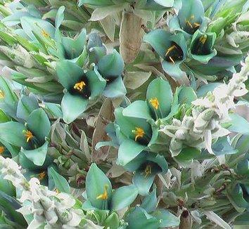 Puya berteroniana 3 flower