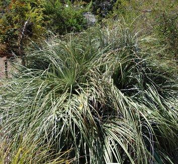 Puya berteroniana 4 form