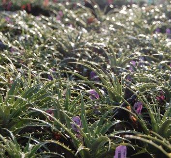 Puya berteroniana 5