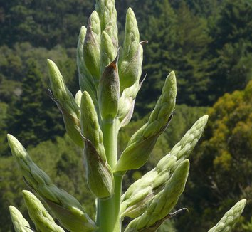 Puya berteroniana 10