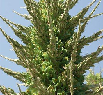 Puya berteroniana 14 flower