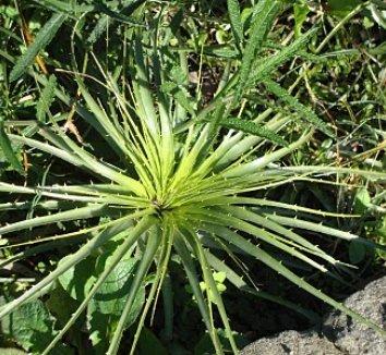 Puya berteroniana 23