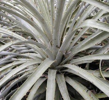 Puya berteroniana 25