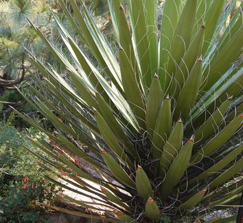 Yucca faxoniana 1 form