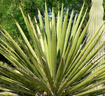 Yucca faxoniana 11 form
