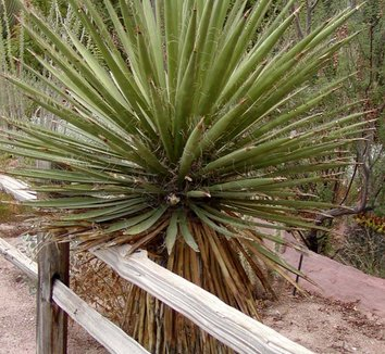 Yucca faxoniana 10 form