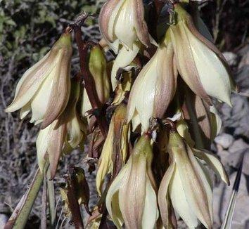 Yucca baccata 4 flower
