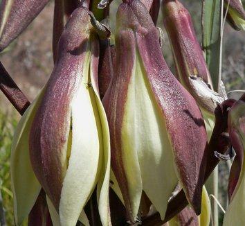 Yucca baccata 12 flower