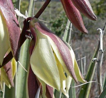Yucca baccata 10 flower