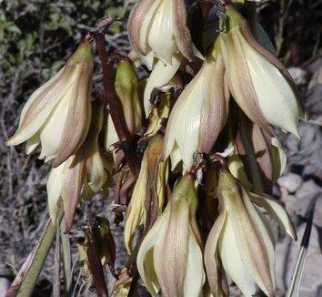 Yucca baccata 9 flower