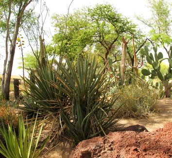 Yucca baccata 19 landscape