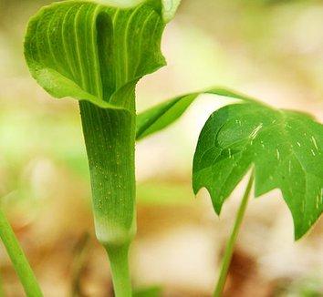 Arisaema triphyllum 4 flower