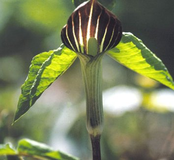 Arisaema triphyllum 9 flower