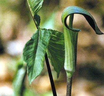 Arisaema triphyllum 3 flower