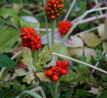 Arisaema triphyllum 14