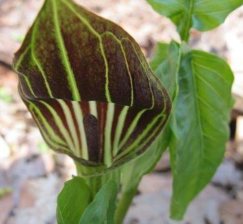 Arisaema triphyllum 17 flower