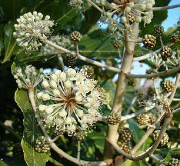 Fatsia japonica 15 flower