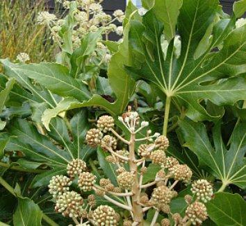 Fatsia japonica 20 flower