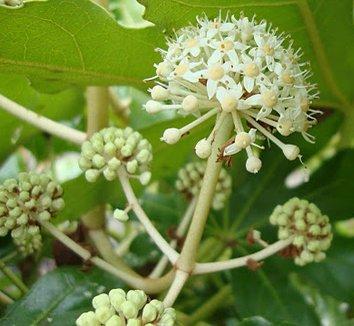 Fatsia japonica 19 flower